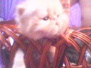 Персидские котята из Кривого Рога