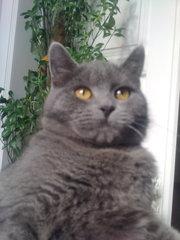 Британский короткошерстный кот приглашает на вязку.
