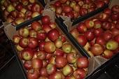 польские яблоки свежий урожай!