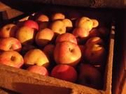 Продам оптом яблоки со своего сада в горах (без химии !!!)