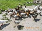 кури кврликові(декоративні)