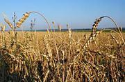 купим висівки пшеничні , кукурузу.пшеницю