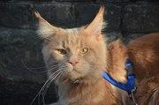 Мейн кун элитные котята из питомника