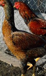 Инкубационные яйца породы  малайская бойцовая