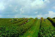 продаю діючий агробізнес,  плантація смородини 6 гектарів