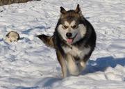 Продается щенок породы Аляскинский Маламут