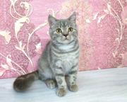 Кошечка шотландской породы. котята